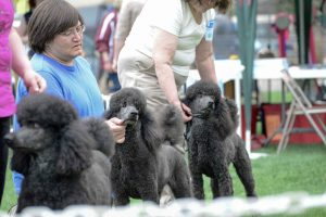 Brad Morgan, of Falcon, stands in line as his standard poodle, Rhino, is evaluated by a judge against other poodles at the Mother's Day Classic Dog Shows at Fickel Park Friday, May 9. The Mother's Day Classic was hosted by the Trail Ridge Kennel Club and is a sanctioned United Kennel Club event.