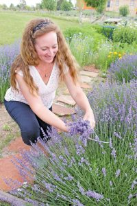 Trudy Perry, owner of Heritage Lavender, gathers a bouquet from her garden.  Heidi Kerr-Schlaefer / The Surveyor